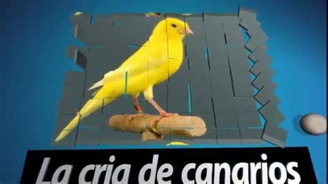 La cría de canarios   como empezar a criar canarios por ...