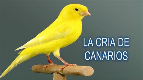 la cría de canarios  reposo otoñal o preparación para la ...