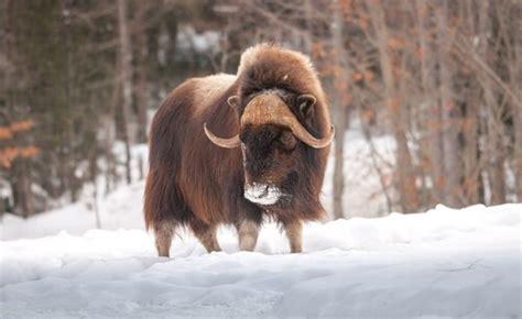 La fauna de Groenlandia   Mis animales