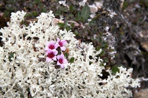 La flora de Groenlandia