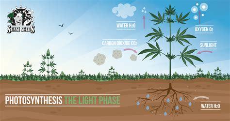 La fotosíntesis: fase luminosa
