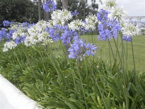 La hermosa Agapanto, color y diseño en el jardín