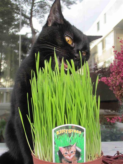 La Hierba de Gato – Purgante natural para nuestro felino ...