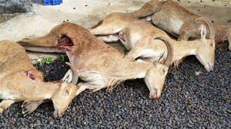 La hipocresía de la caza mayor en La Palma   La Voz de La ...