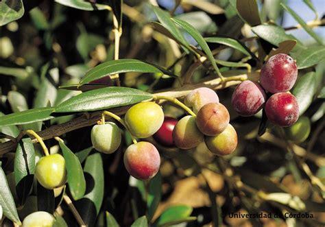 La importancia de las variedades   Aceites de Oliva de España