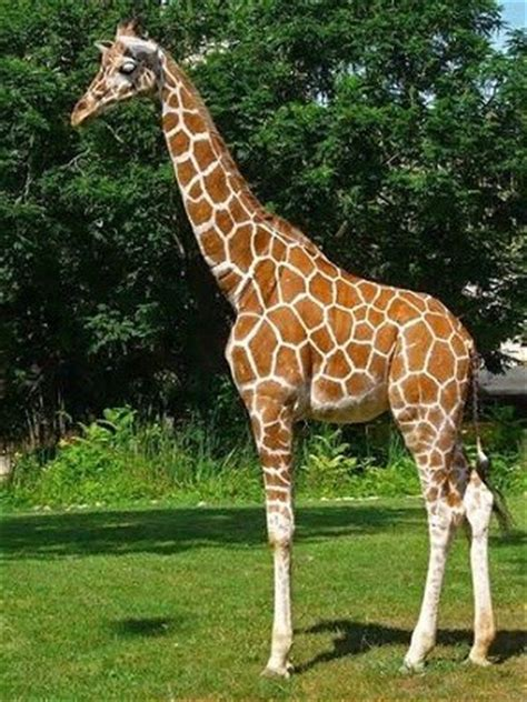 La jirafa y sus significados