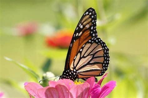 La mariposa monarca   Características, migración, ciclo de ...