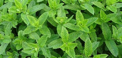 La menta es una planta medicinal que tiene grandes propiedades