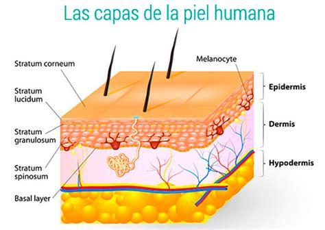 La piel: funciones, anatomía tipos de piel y ph