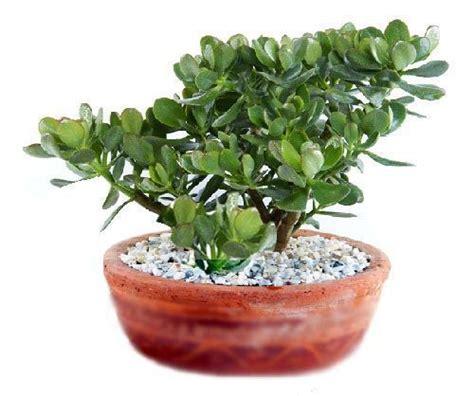 La planta de Jade - Decoracion de INTERIORES