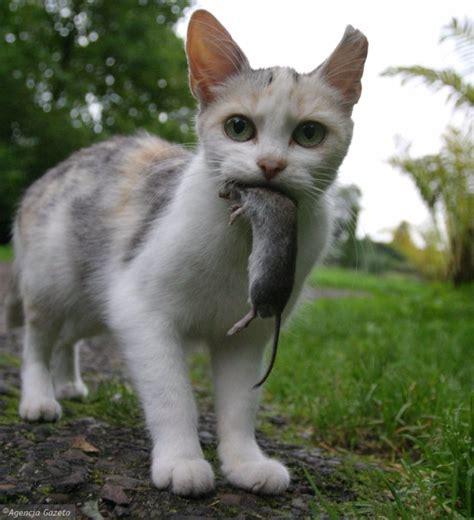 La razón porque los gatos traen animales muertos a casa ...