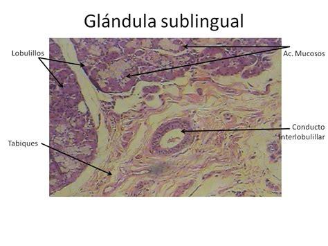 LABORATORIO DE HISTOLOGIA: Glandulas anexas al Sistema ...