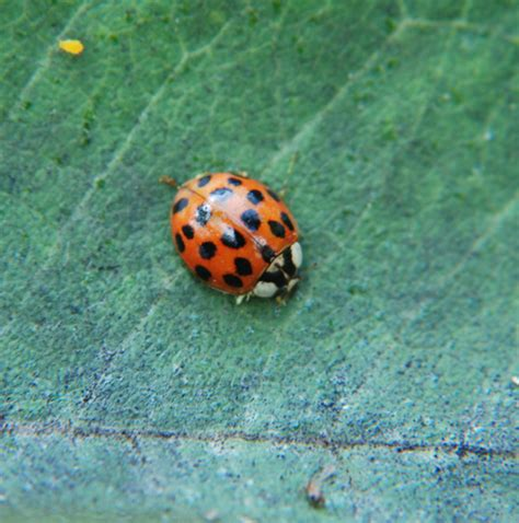 Ladybug Species Pictures to Pin on Pinterest - ThePinsta
