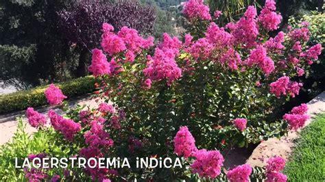 Lagerstroemia indica. Garden Center online Costa Brava ...
