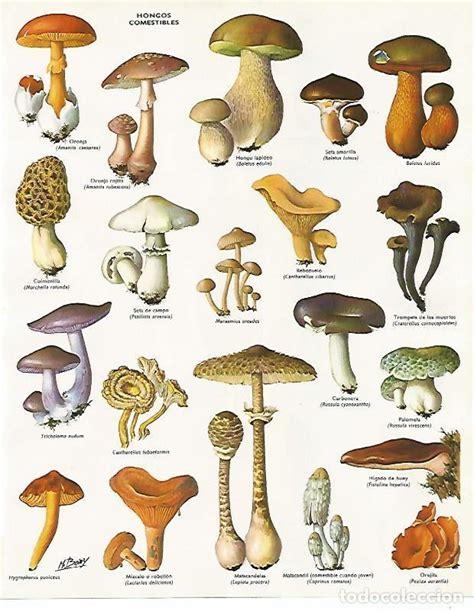 lamina larousse 70121: hongos comestibles   Comprar ...