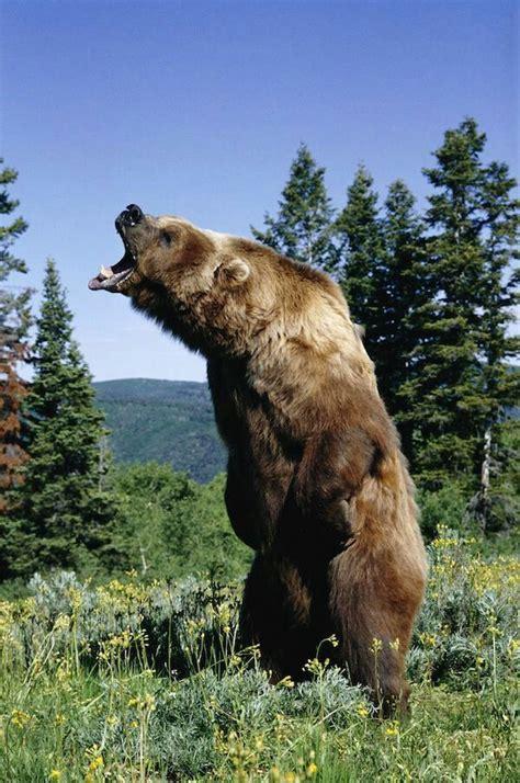 Las 25+ mejores ideas sobre El oso pardo en Pinterest ...