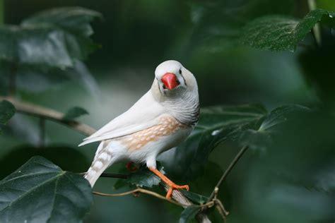 Las aves cantoras dominan y mejoran su canto con la ...