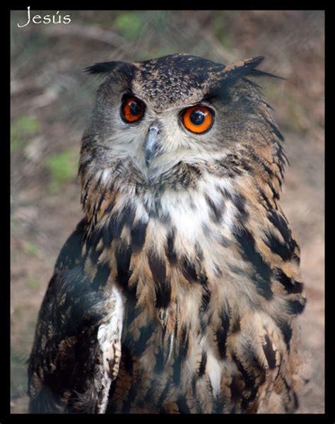 Las aves rapaces: Lista de especies ibéricas  Parte 3