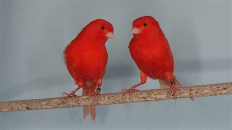 Las canarias guapas que dejan sin palabras a los canarios ...