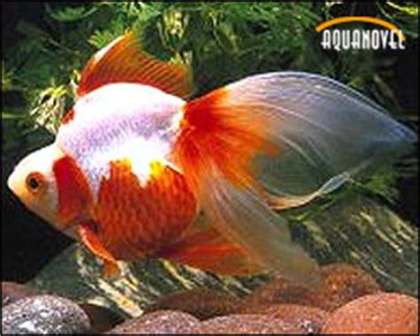 Las carpas, los peces más comunes para el acuario de agua ...