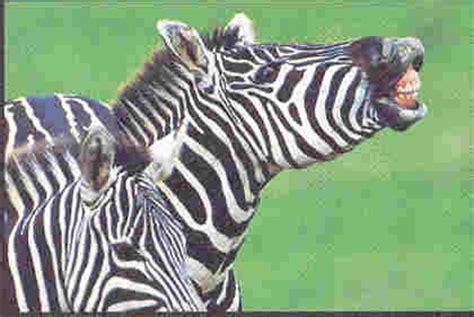 Las cebras galopan libremente por la llanura africana