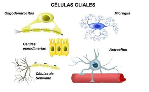Las células gliales del sistema nervioso: tipos y funciones