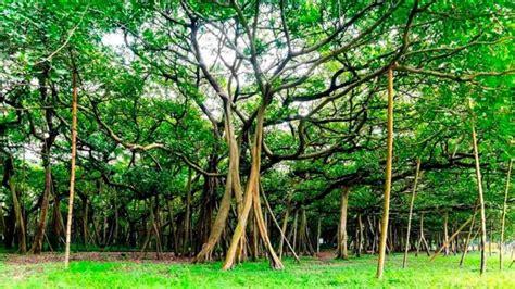 Las claves del gigantesco bosque formado por un solo árbol