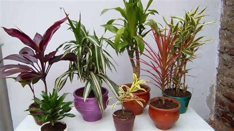 Las Dracaeneas plantas de interior   YouTube