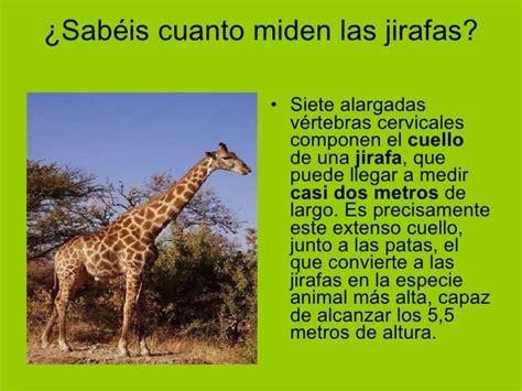 Las jirafas aitana y alba