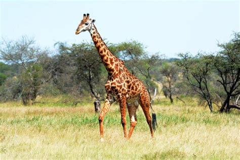 Las jirafas enfrentan una 'extinción silenciosa'