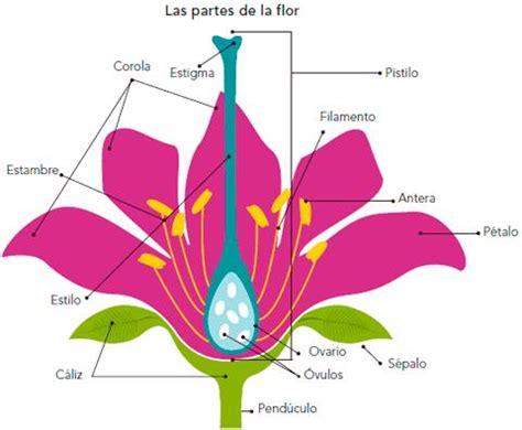 Las partes de una flor y sus funciones