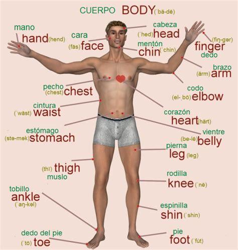 las partes del cuerpo humano en vocabulario en ingles y ...