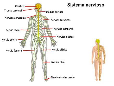 Las partes del sistema nervioso   ¡Descubre cuáles son!