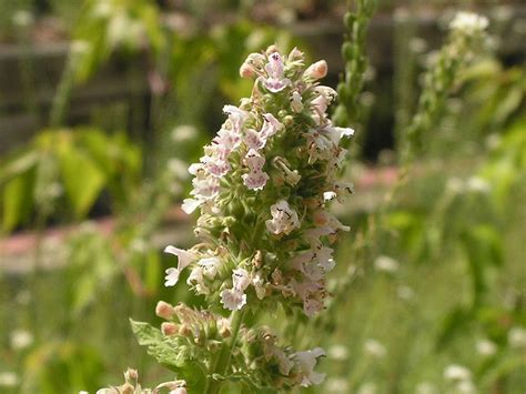 Las plantas y sus usos: Nébeda o hierba gatera