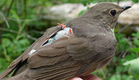 Las rutas migratorias de las aves cantoras están en sus genes