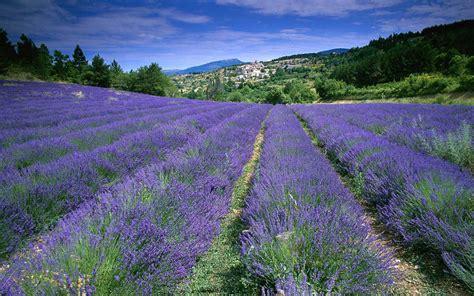 Lavender fields Provence - France