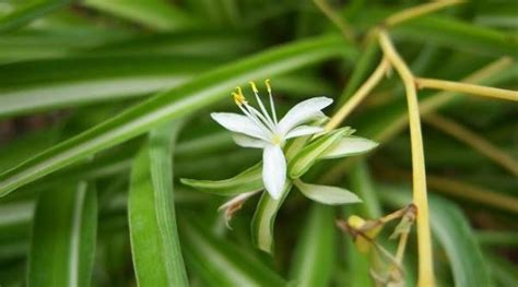 Lazo de amor o cinta, la planta que purifica el aire del hogar
