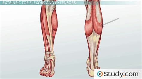 Leg Muscles: Anatomy, Support & Movement - Video & Lesson ...