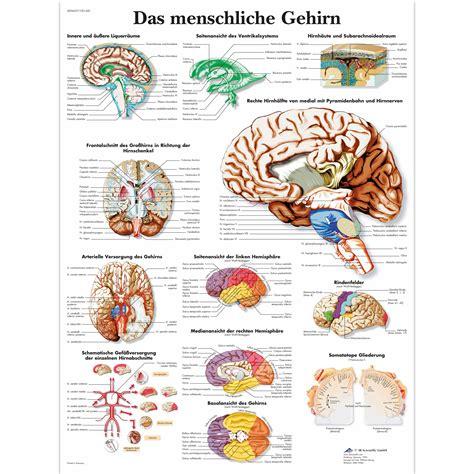 Lehrtafel - Das menschliche Gehirn - 4006627 - VR0615UU ...