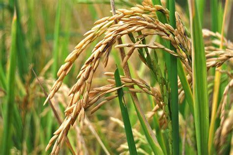 Lejos de la soberanía alimentaria la nueva cosecha de ...
