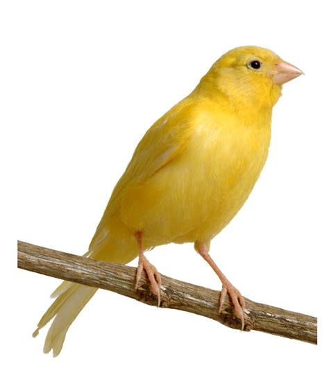 Let s Talk About Birds: Canaries | Pittsburgh Post Gazette