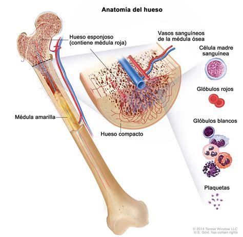 Leucemia linfoblástica aguda en adultos  PDQ® —Versión ...