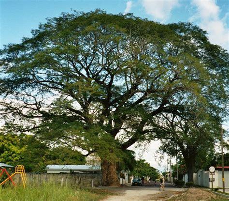 Leyenda origen del Árbol de Guanacaste. – Diario Digital ...