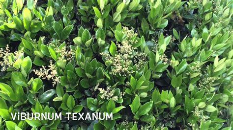Ligustrum texanum. Garden Center online Costa Brava ...