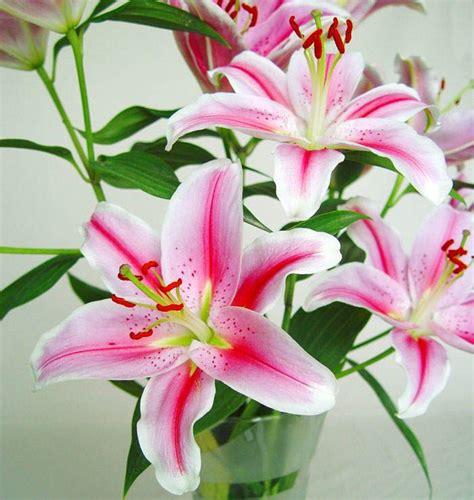 Lilium | Floresyplantas.net