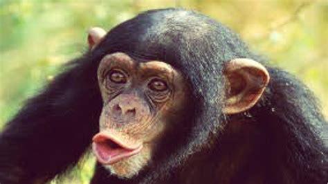 Lindos. tiernos, graciosos y chistosos monos/chimpancés ...