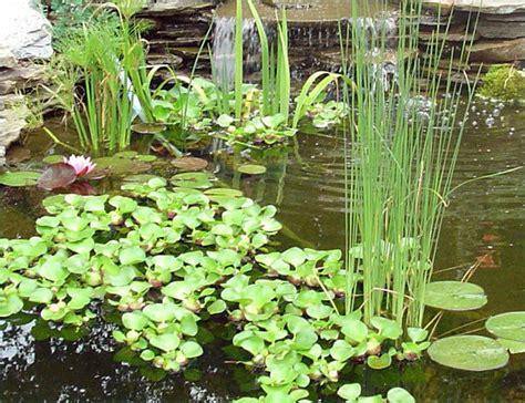 LIVE Pond Water Garden Plants - Anacharis Bacopa Clover ...