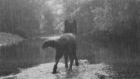 Lobo bajo la lluvia. Sonidos de lluvia y lobos, tormenta ...