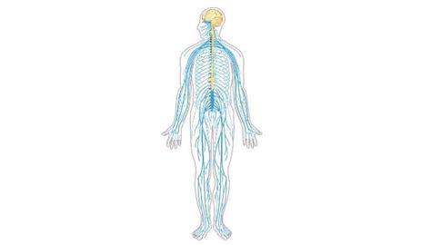 Los 11 Sistemas Del Cuerpo Humano – Conoce Como Funcionan!