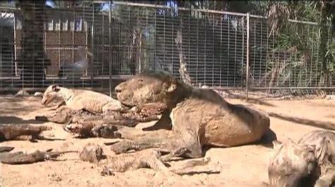 Los animales de un zoo de Gaza mueren de hambre